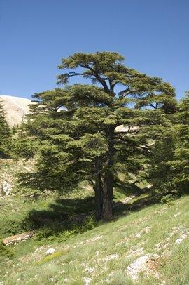Seedeo Libanonzeder (Cedrus libani) 20 Samen