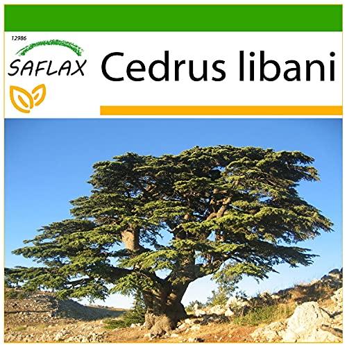 SAFLAX - Libanon - Zeder - 20 Samen -...